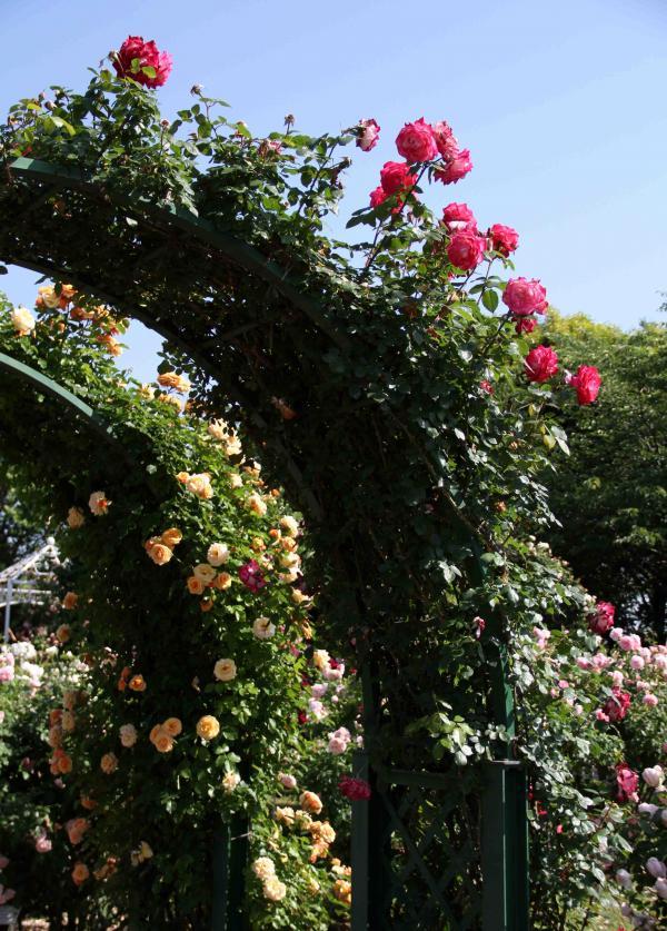 見事なバラ模様 トンネル・アーチ(3)