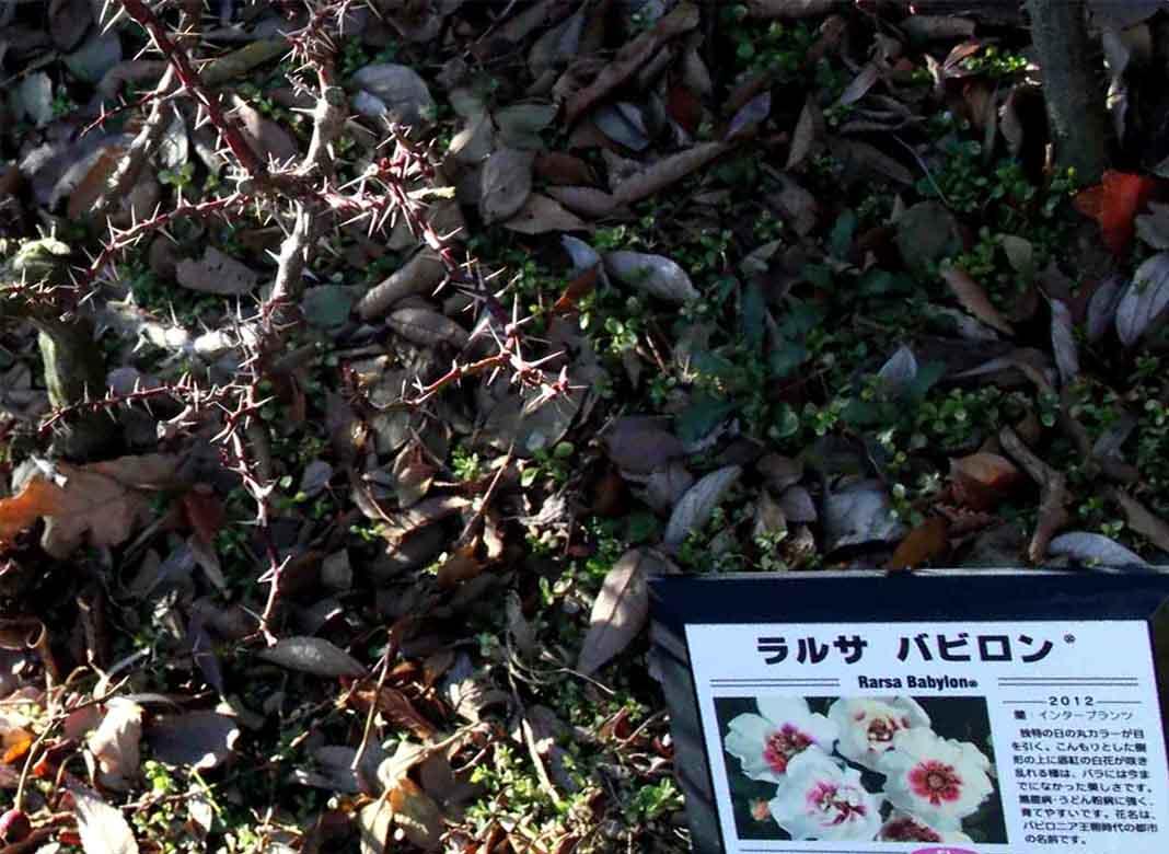 つるバラ 誘引美(66)