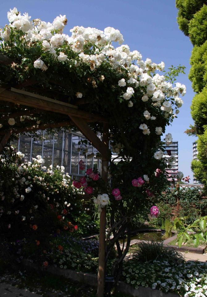 見事なバラ模様 つるアイスバーク