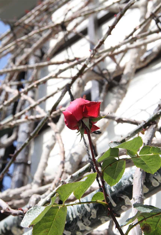 越冬開花のCLマリアカラス