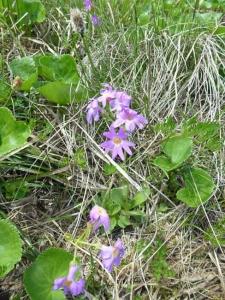 ハクサンコザクラの花