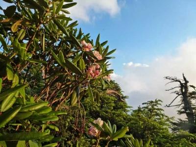 小屋の近くに咲くシャクナゲ
