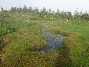 コバイケイソウと湿原