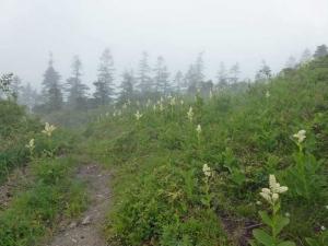 コバイケイソウの花