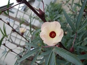 20150718ローゼル花