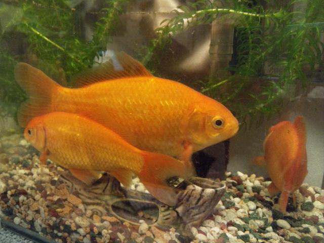引っ越し前とも知らずくつろぐ金魚ファミリー