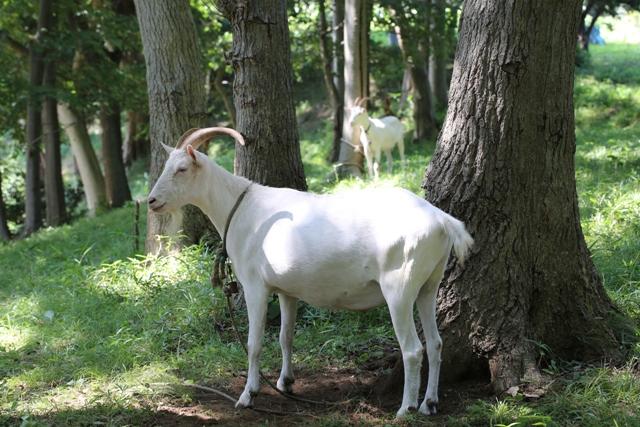 雑木林で草を食むヤギ
