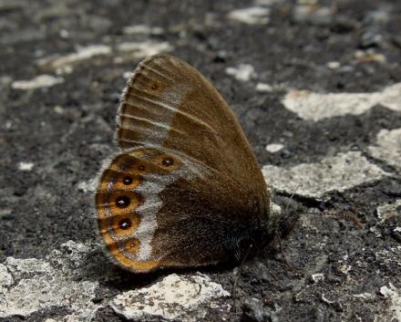 シロオビヒメヒカゲ
