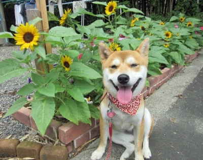 向日葵ハナ