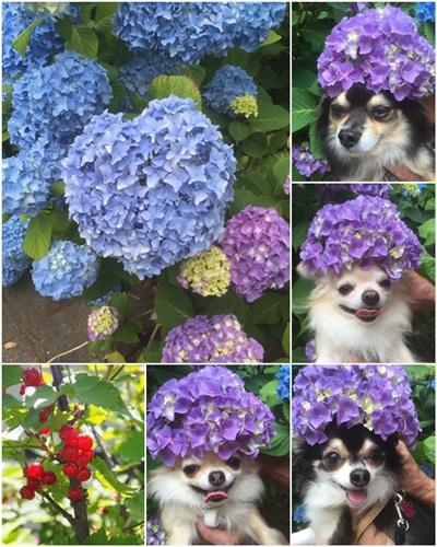 紫陽花2015-2