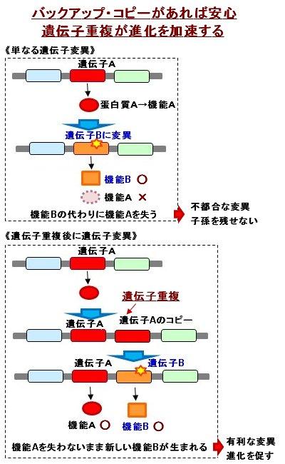 遺伝子重複のメリット