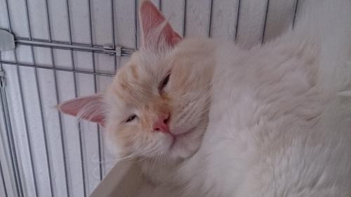 暑っつー_白玉猫2