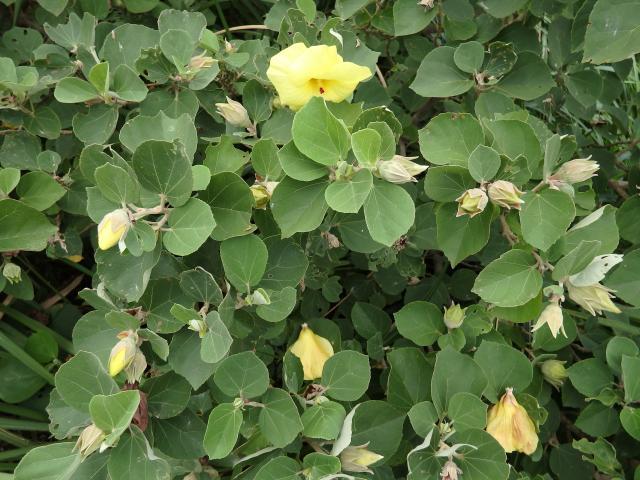 ハマボウの葉