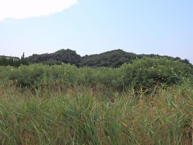 ハマボウの自生地はアシが生えるようなところ