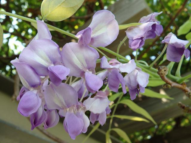 花はマメ科独特の蝶形花