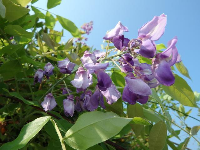 春の花に比べると花房はやや小さめ