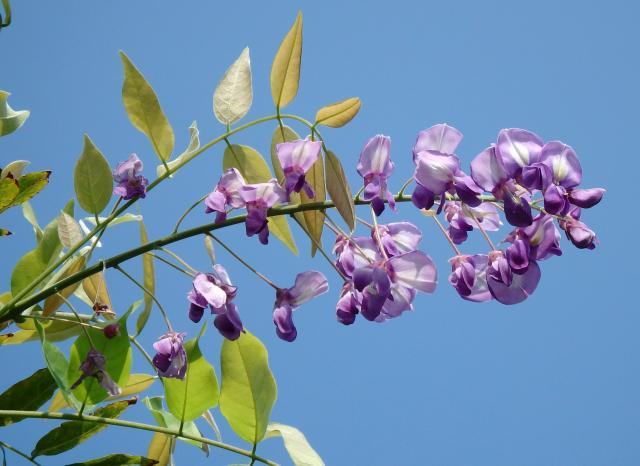青空を背景にフジの花が美しい