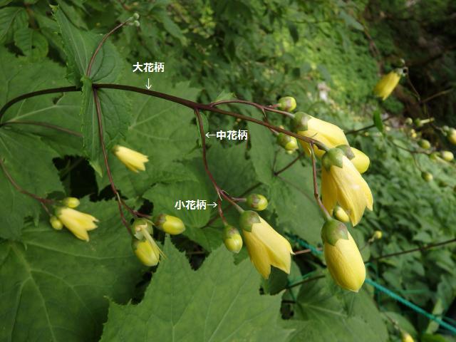 集散花序の様子