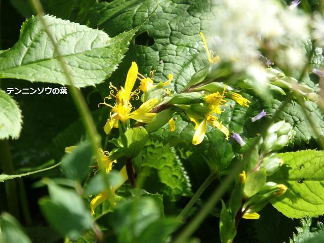 メタカラコウの花が咲いている