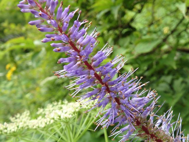 ナンゴククガイソウの花