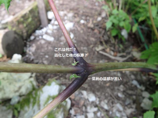 茎および葉柄