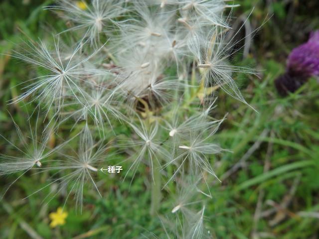 トゲアザミの種子は風散布だ