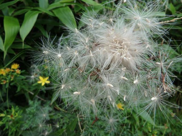 種子に冠毛を持つ
