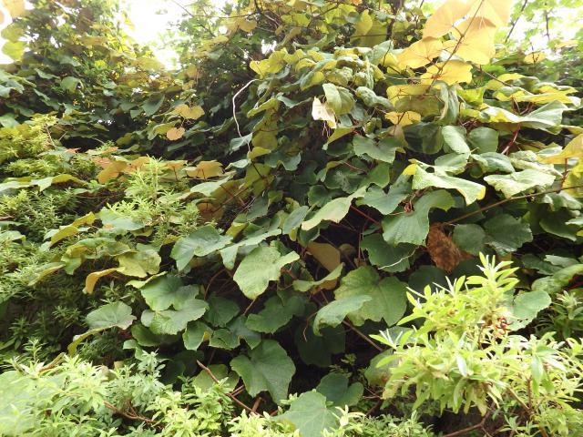 ヤマブドウの蔓や葉