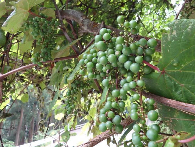 見事なヤマブドウの実