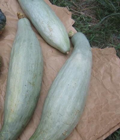 カボチャ収穫 (4)