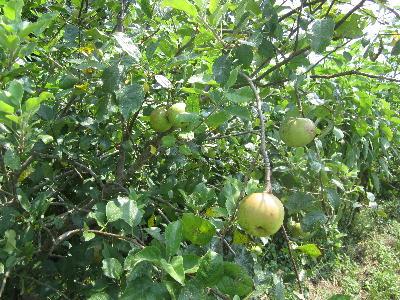 リンゴ (1)