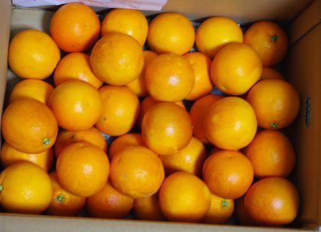 150307-ブラッドオレンジタロッコ1
