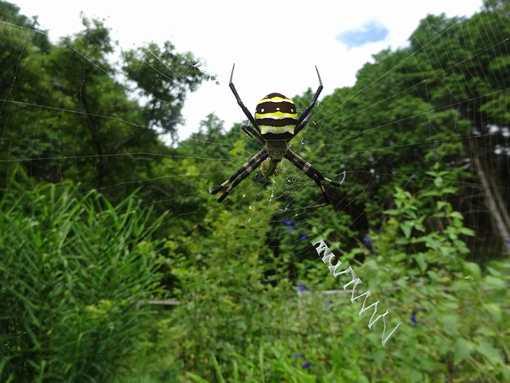 20150726 女郎蜘蛛