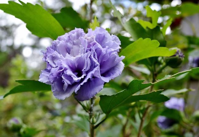 8,4紫玉ー1