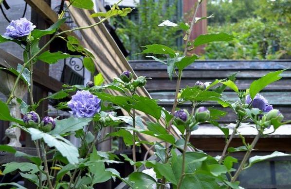 8,4紫玉―蕾