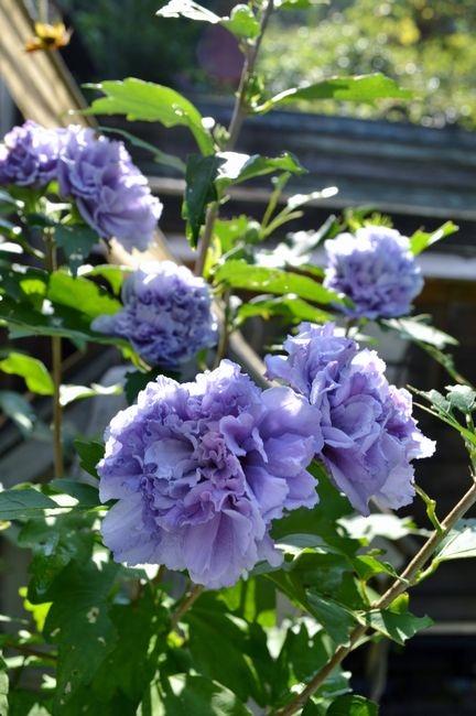 8,8紫玉ー1