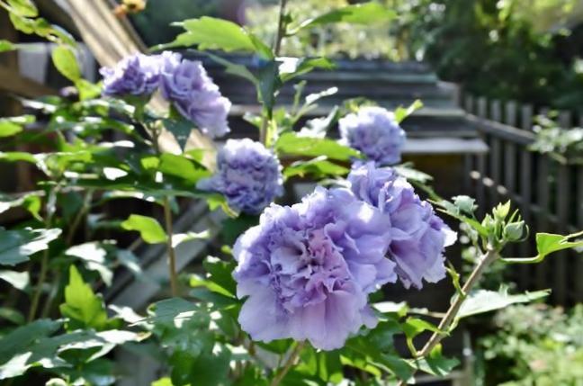 8,8紫玉ー2