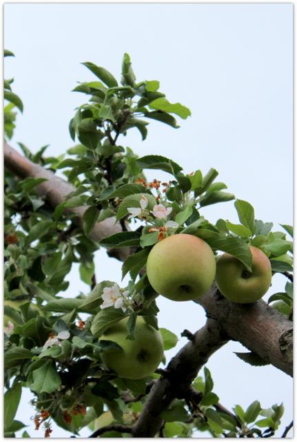 青森県 弘前市 りんご 金星 花 写真