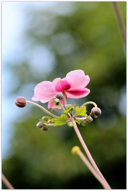 シュウメイギク 青森県 弘前市 弘前公園 弘前城 弘前城植物園 花の写真