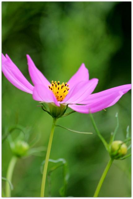 コスモス 青森県 弘前市 弘前公園 弘前城 弘前城植物園 花の写真