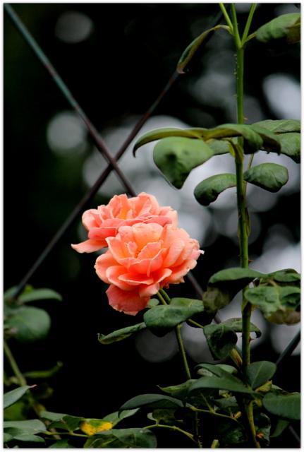 バラ 青森県 弘前市 弘前公園 弘前城 弘前城植物園 花の写真