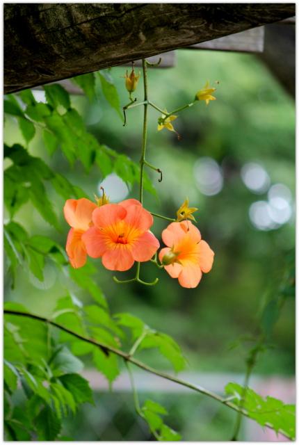 ノウゼンカズラ 青森県 弘前市 弘前公園 弘前城 弘前城植物園 花の写真