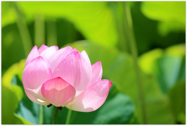 ハス 蓮の花 青森県 弘前市 弘前公園 弘前城 弘前城植物園 花の写真