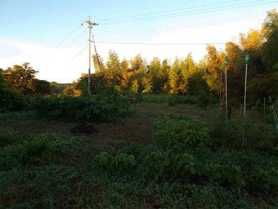 7.26朝の畑