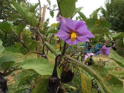 8.11ナスの花