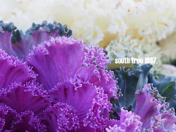 葉牡丹2ブログ用