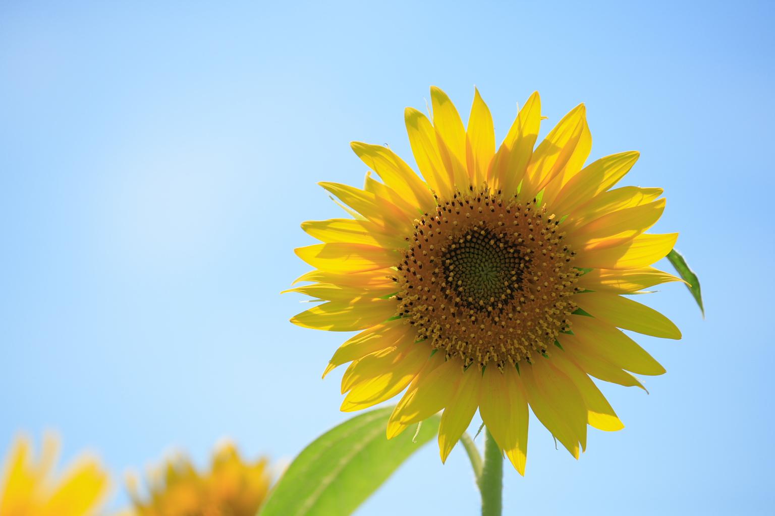 sunflower_61_201508060034308d8.jpg