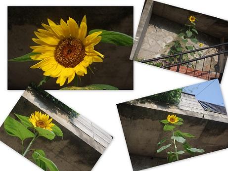 2015-08-15 ひまわりと大村と鐘楼流し
