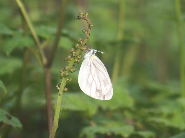 羽を休める蝶