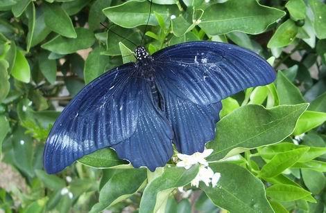 20150819_庭でナガサキアゲハを蝶を見つけました(470x308)20150815
